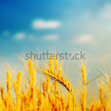 golden barley on field in sunset. soft focus Stock photo © mycola