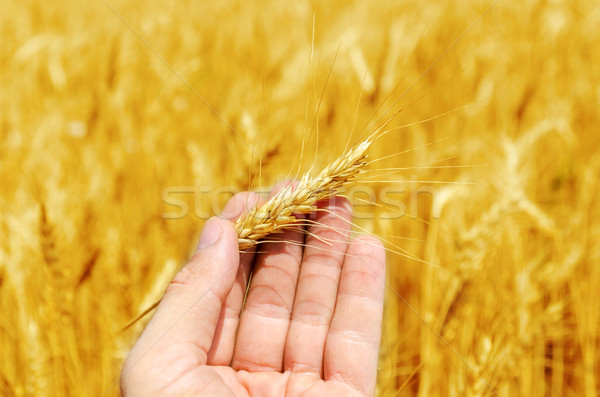 new harvest in hand over golden field Stock photo © mycola
