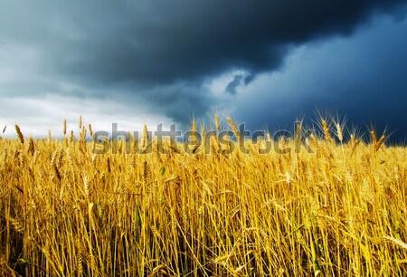 field with barley Stock photo © mycola