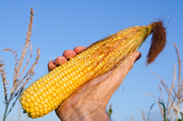 fresh golden maize in hand Stock photo © mycola