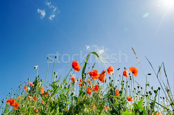 Poppy bloemen zonnige hemel bloem voorjaar Stockfoto © mycola