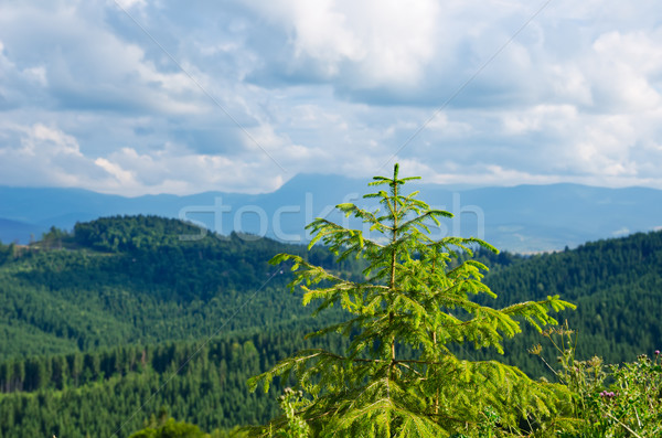 Pine tree closeup over mountain Carpathians Stock photo © mycola