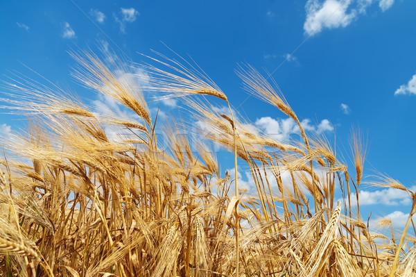 Ouro orelhas trigo profundo blue sky céu Foto stock © mycola