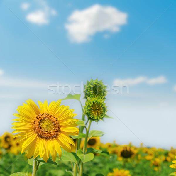 sunflower on field close up. soft focus Stock photo © mycola