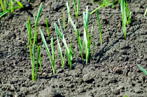 little green shots on the field Stock photo © mycola