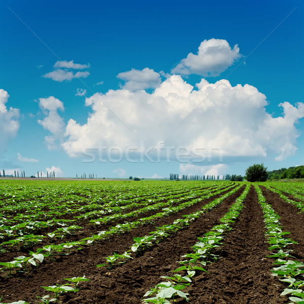 agriculture field close up and blue sky with clouds over it Stock photo © mycola
