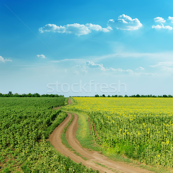 winding rural road in green fields with sunflowers and blue clou Stock photo © mycola