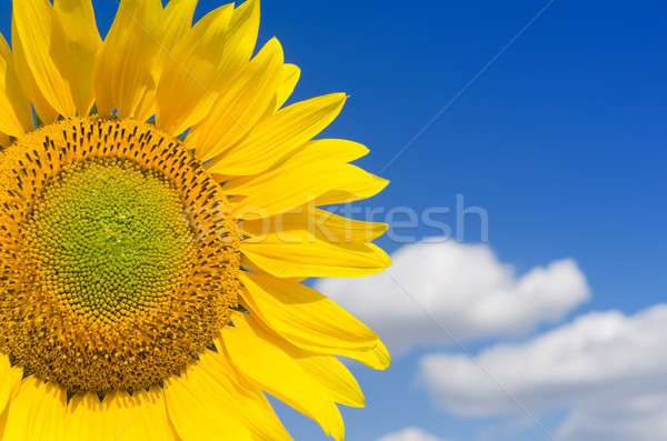 Stock photo: part of sunflower and blue sky