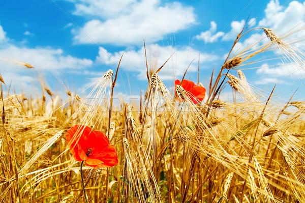red poppy on field Stock photo © mycola