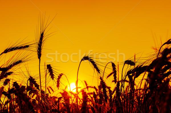 sun over grain field in summer Stock photo © mycola