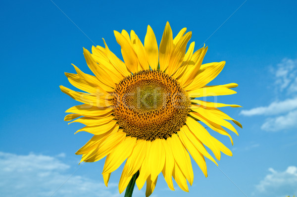 Stock photo: beautiful sunflower on field with clouds