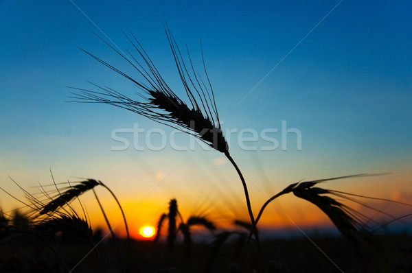 sunset on field at summer. ears of wheat sun against Stock photo © mycola