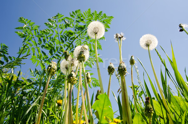spring meadow with dandelions Stock photo © mycola