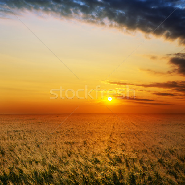 Or coucher du soleil domaine orge alimentaire paysage Photo stock © mycola