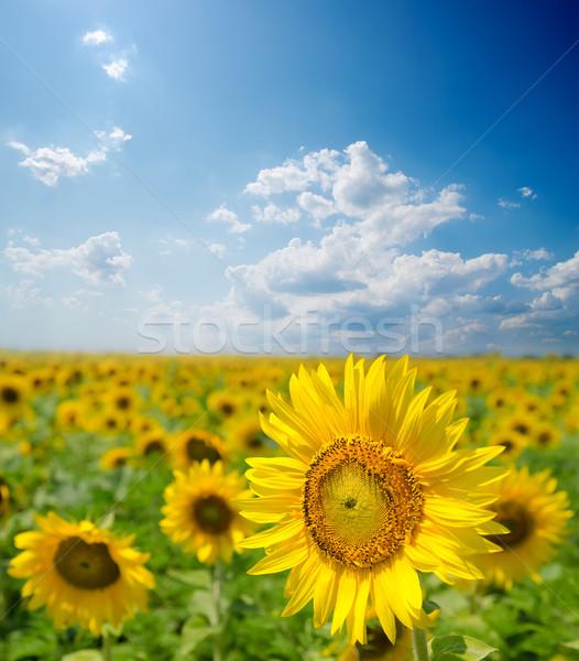 sunflower field under cloudy sky Stock photo © mycola