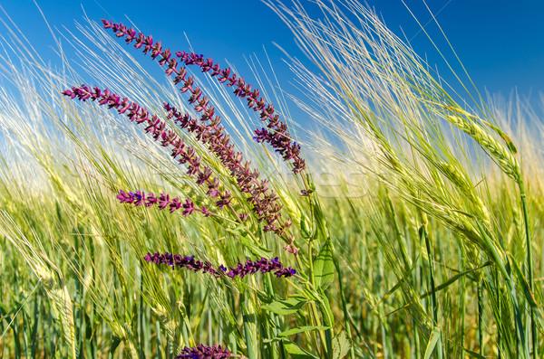 Blume grünen Ernte Frühling Blatt Schönheit Stock foto © mycola