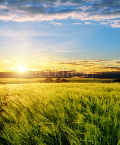 ear of green wheat under sunrays Stock photo © mycola