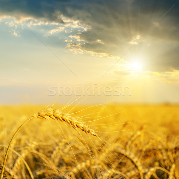 field with gold ears of wheat in sunset Stock photo © mycola