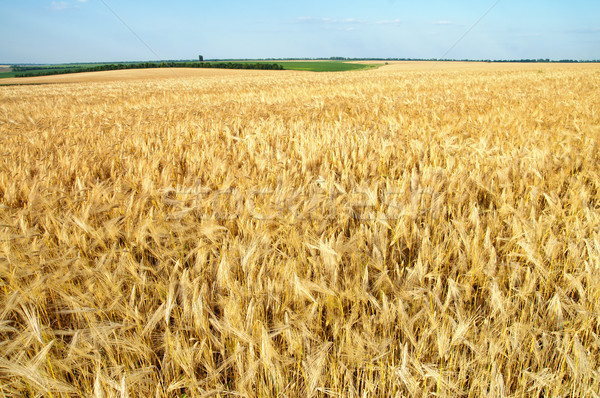 field of ripe wheat gold color Stock photo © mycola