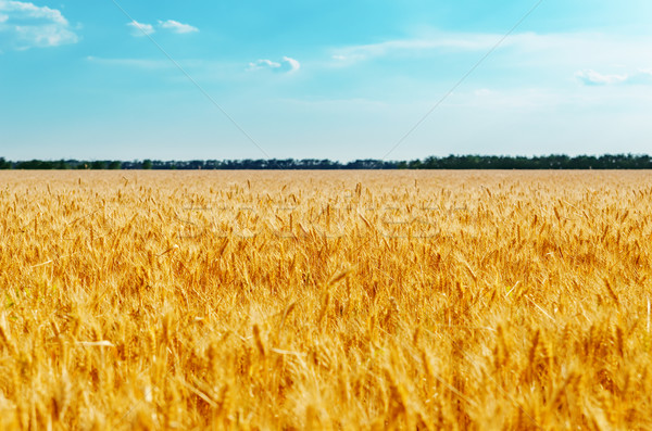 field with golden harvest and blue sky. soft focus on center of  Stock photo © mycola