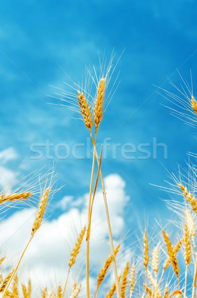 Zwei golden blauer Himmel Bereich Essen Natur Stock foto © mycola