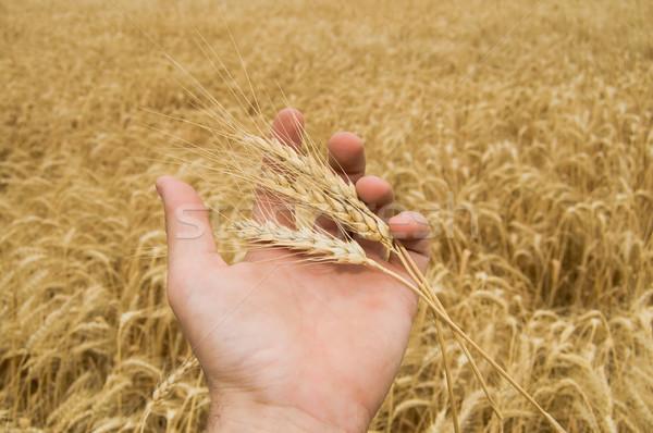 Demonstratie oren tarwe hand boven veld Stockfoto © mycola