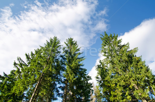 pine forest under deep blue sky in mountain Carpathians Stock photo © mycola