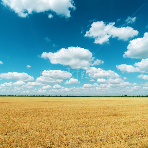 Altın alan hasat bulutlar derin mavi gökyüzü Stok fotoğraf © mycola