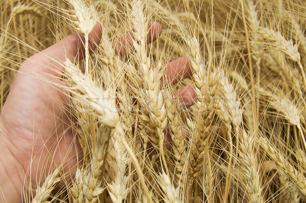стороны ушки пшеницы продовольствие природы Сток-фото © mycola