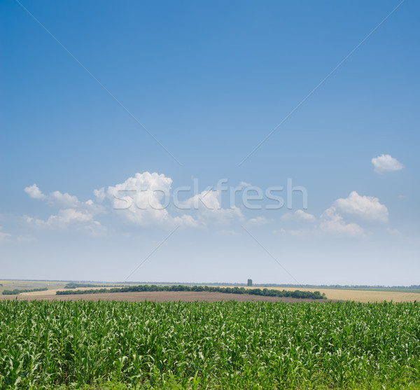 field with green maize Stock photo © mycola