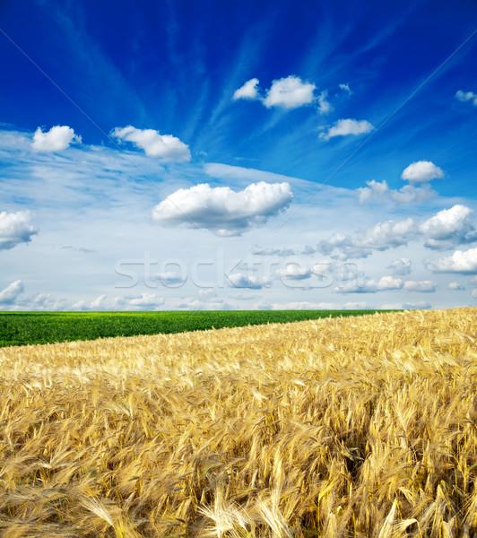 Campo trigo nublado céu natureza paisagem Foto stock © mycola