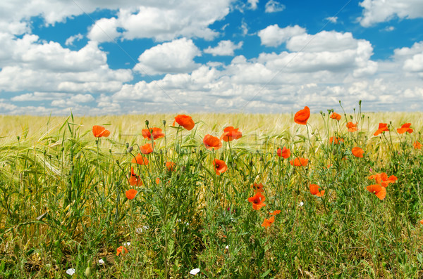ped poppies on field Stock photo © mycola