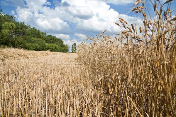 Dourado trigo orelhas sul Ucrânia terra Foto stock © mycola