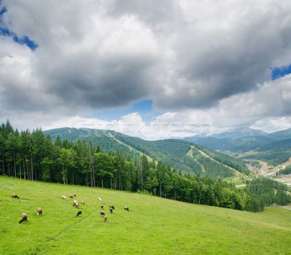 Beautiful green mountain landscape with cows in Carpathians Stock photo © mycola