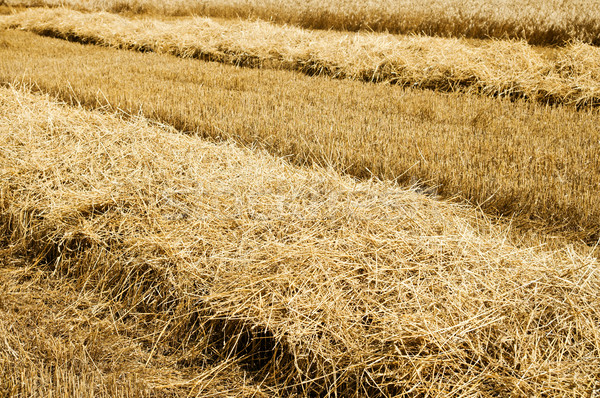 collected harvest on the field. south Ukraine Stock photo © mycola