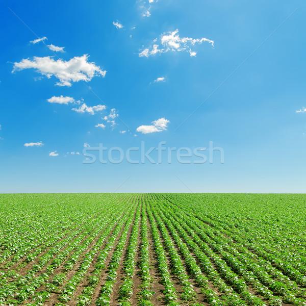 Foto stock: Blue · sky · campo · pequeno · verde · girassóis · primavera