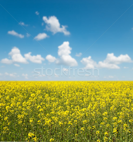 flower of oil rape in field with blue sky and clouds Stock photo © mycola