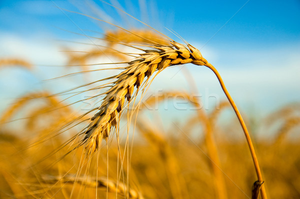 One golden wheat ear Stock photo © mycola
