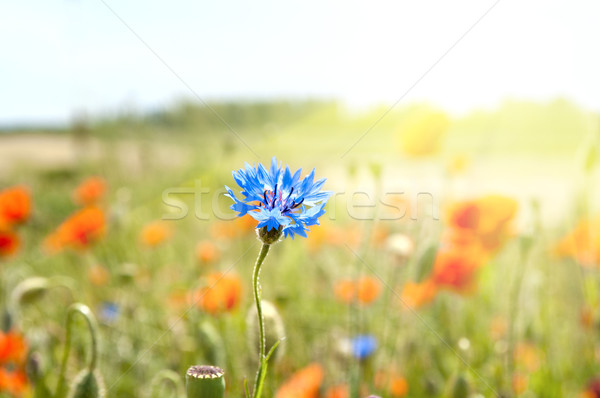 Stock photo: blue cornflowers in the rays of the sun