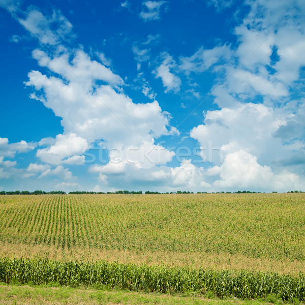 field with green maize under cloudy sky Stock photo © mycola
