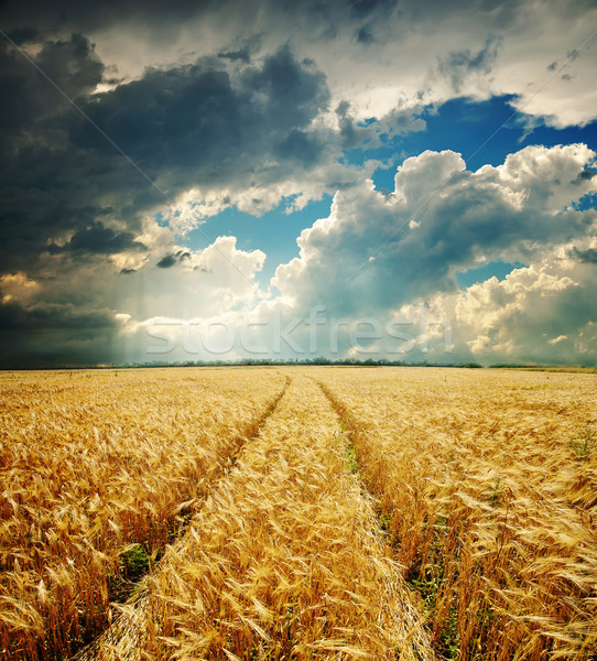 dramatic sky over golden field Stock photo © mycola