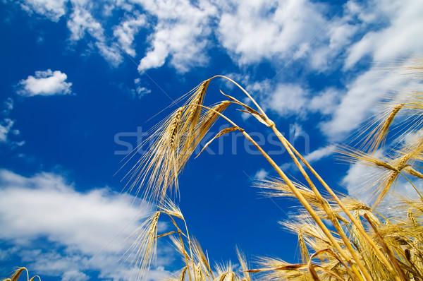 Stock fotó: Arany · búza · fülek · kék · ég · dél · Ukrajna