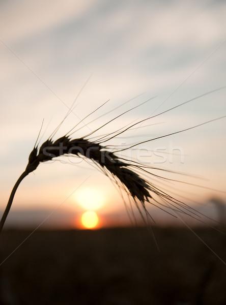 Stock photo: sunset behind on wheat field