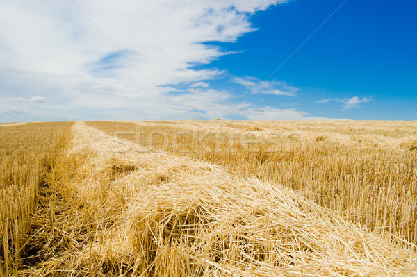 Palha campo colheita terra verão Foto stock © mycola