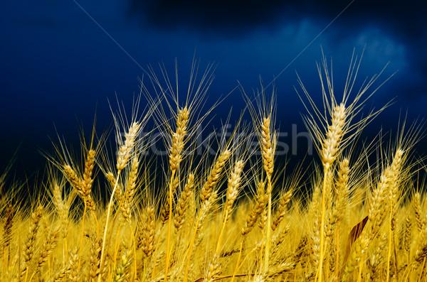 Stok fotoğraf: Altın · alan · yağmur · gökyüzü · manzara · yaz