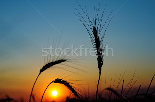 golden sunset over harvest field Stock photo © mycola