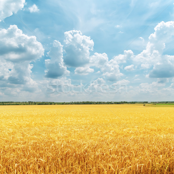 Mętny niebo złoty dziedzinie deszcz charakter Zdjęcia stock © mycola