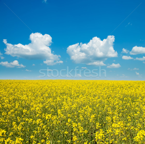 rapeseed flower detail on field Stock photo © mycola