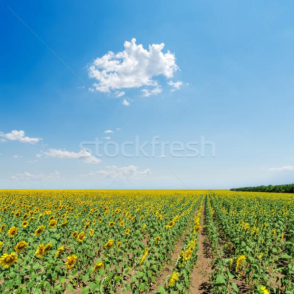 Girassóis campo luz azul céu flor paisagem Foto stock © mycola