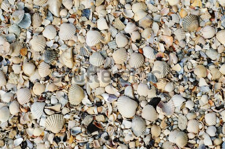 pieses of sea shells background Stock photo © mycola